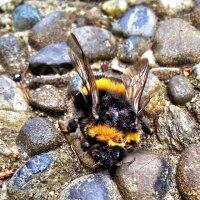 Bumblebee on the Ground