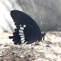 Butterfly suai