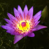 Serenity of Lotus