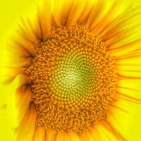 Sunflower Corolla