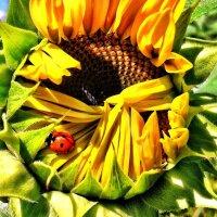 Sunflower opens