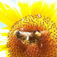 Sunflower visit
