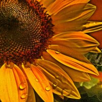 Sunflower with drops
