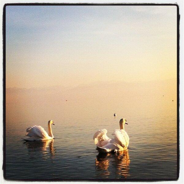 Swans towards Sunset