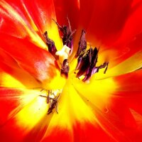 Tulip in the Morning