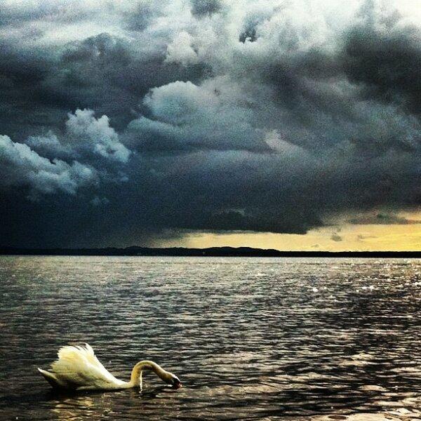Pure swimming Swan - lightful cloudy